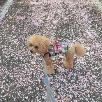 桜吹雪の花影で