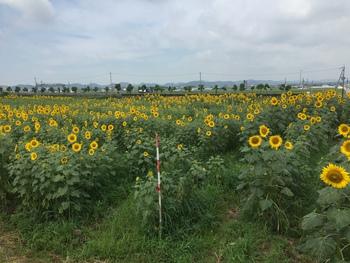 向日葵の丘