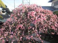 枝垂れ梅が綺麗に咲きました
