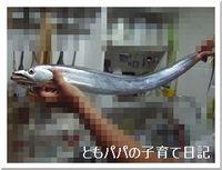 頂きものの太刀魚・・・