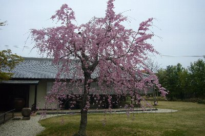 播磨屋のしだれ桜