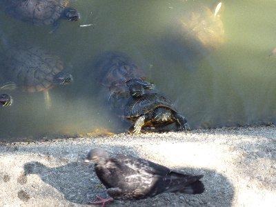 明石 鯛・亀・鳩