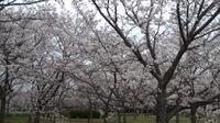昨日に引き続き桜