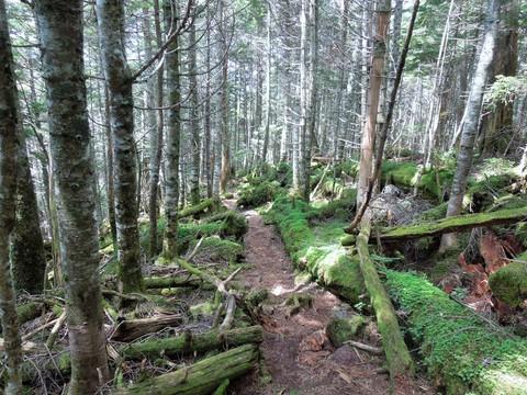 シラビソ樹林