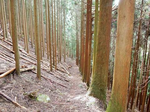 植樹林の道