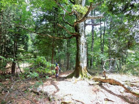 ブナの巨木