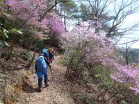 大桜が満開の御祓山