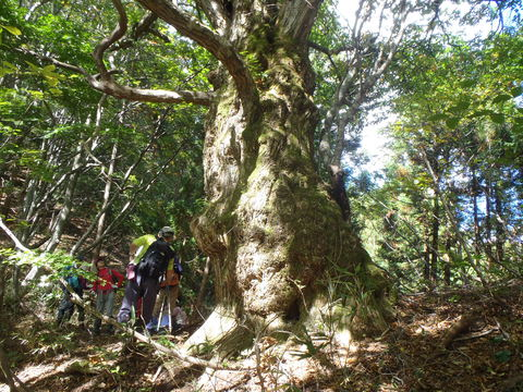 くりの巨木