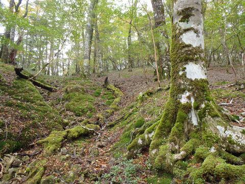 苔むすブナの森
