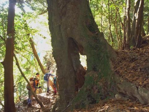 シイの大木