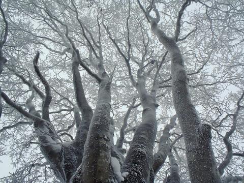 ブナの霧氷