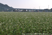 夢前町玉田のそば畑