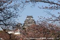 姫路城 桜開花情報