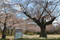 姫路城 4月2日桜開花情報