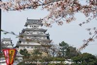 姫路城 4月3日桜開花情報