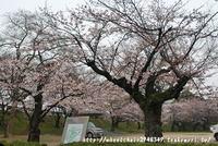 姫路城 4月4日桜開花情報