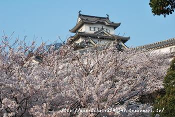 姫路城 4月8日桜開花情報