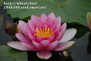 車椅子で行く永沢寺花しょうぶ園