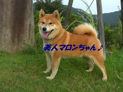 柴犬マロンちゃん♪