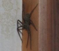あしだか蜘蛛