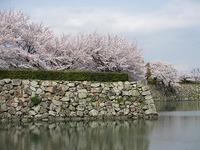 姫路城と桜の花