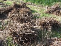 黒豆収穫作業