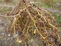 黒豆収穫作業 終了