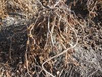 黒豆 収穫作業