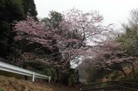 「犬塚」のエドヒガンサクラ