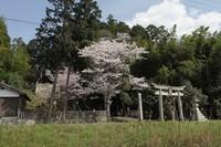 桜のある風景3-下田、小河、榊