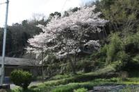 桜のある風景4-中野、二木