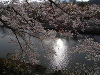 """姫路城の桜"""""""""""