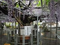 雨に濡れた大歳神社の千年藤
