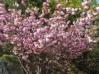 姫路城の桜 <br /> ぼたん桜
