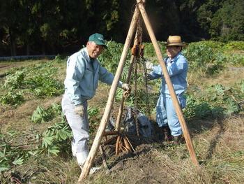 キャッサバ芋の苗木取りと保存作業