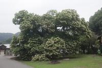 瓜生の栗の木