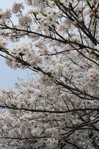 夢前川河川敷~お花見~